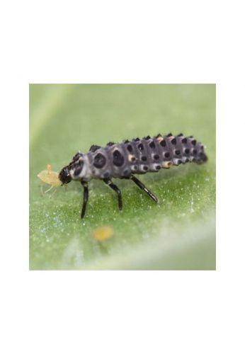 Lot de 1000 larves Coccifly