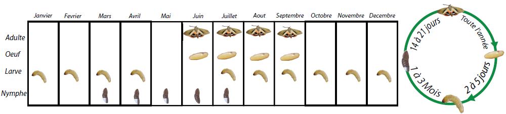 cycle de vie du papillon du palmier